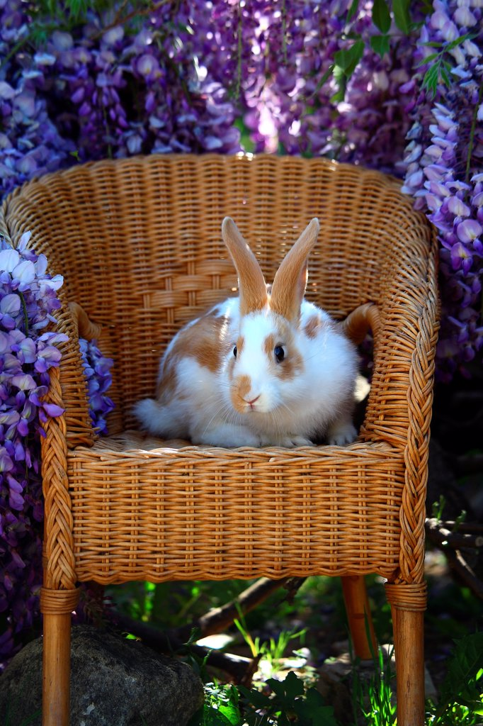 Stock Photo: 4413-151800 Giant Papillon rabbit on a chair in front of a Glycine