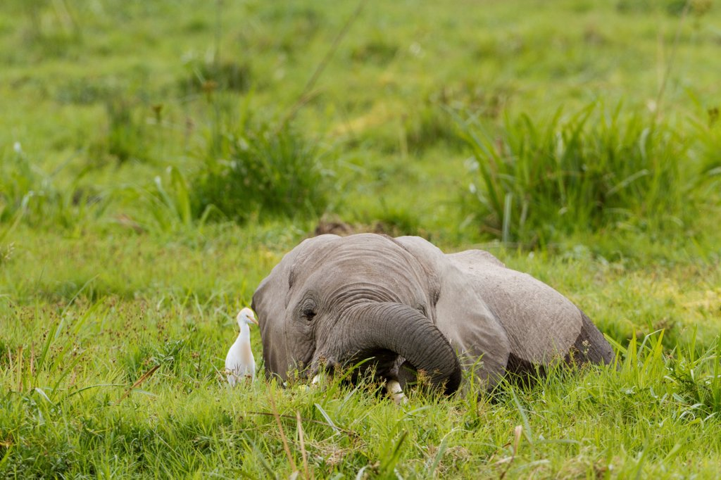 Stock Photo: 4413-151946 African bush Elephants eating in the Amboseli NP in Kenya