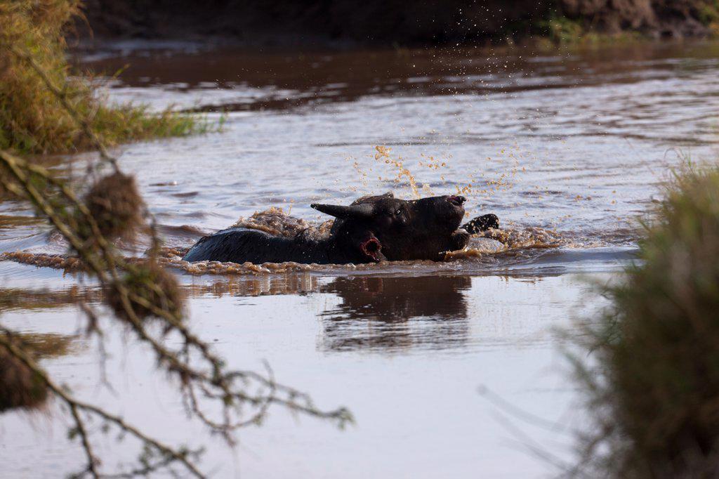 Stock Photo: 4413-152099 Spotted hyena attacking an African Buffalo Nakuru NP