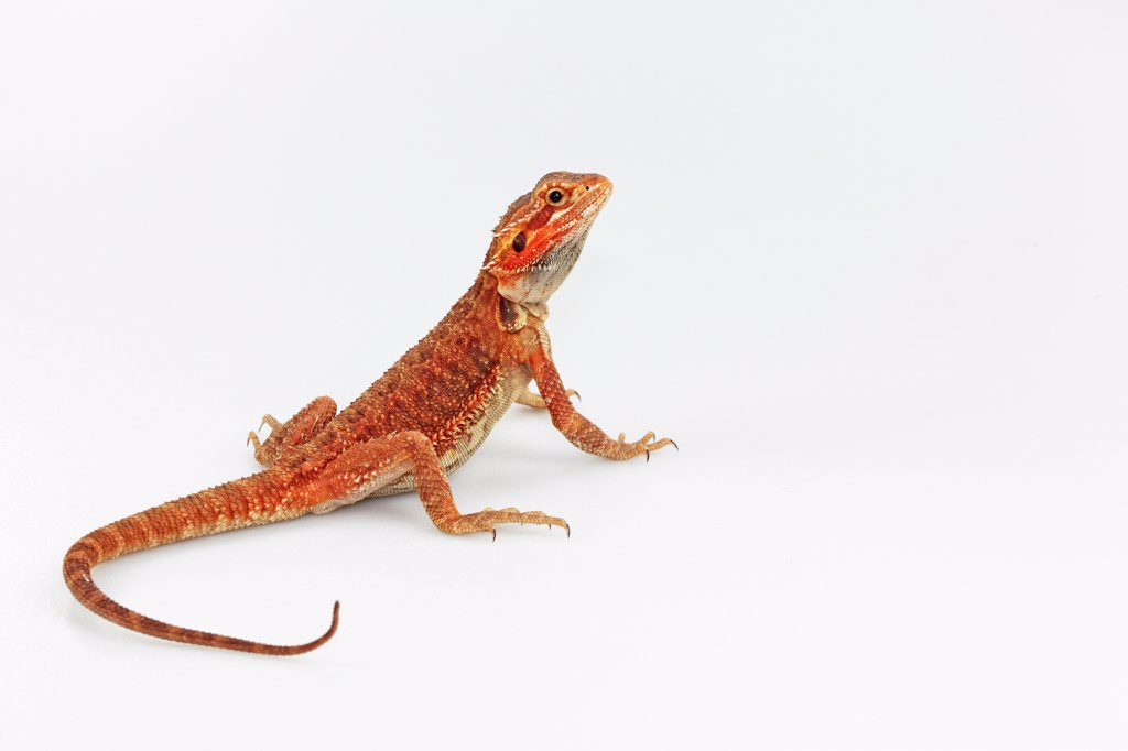 Inland Bearded Dragon captive-bred red : Stock Photo