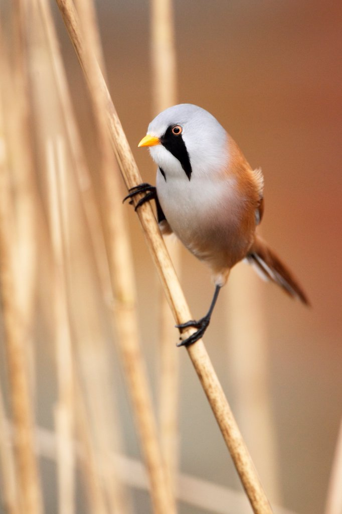 Stock Photo: 4413-154066 Bearded tit perched amongst phragmites winter England
