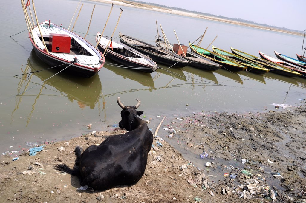 Stock Photo: 4413-156472 Cow lying on the banks of the Ganges in Varanasi India