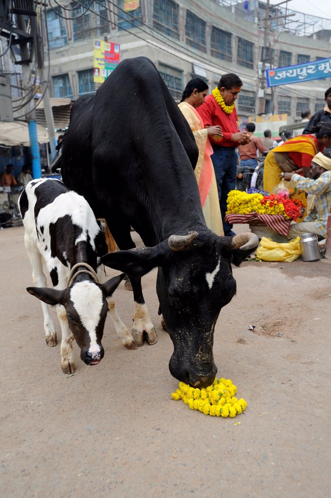 Stock Photo: 4413-156552 Cow and calf on a street in Varanasi in India