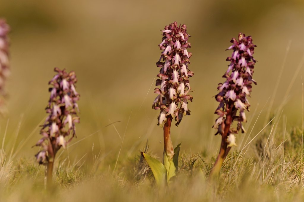 Stock Photo: 4413-157090 Giant Orchid in the scrubland Languedoc-Roussillon