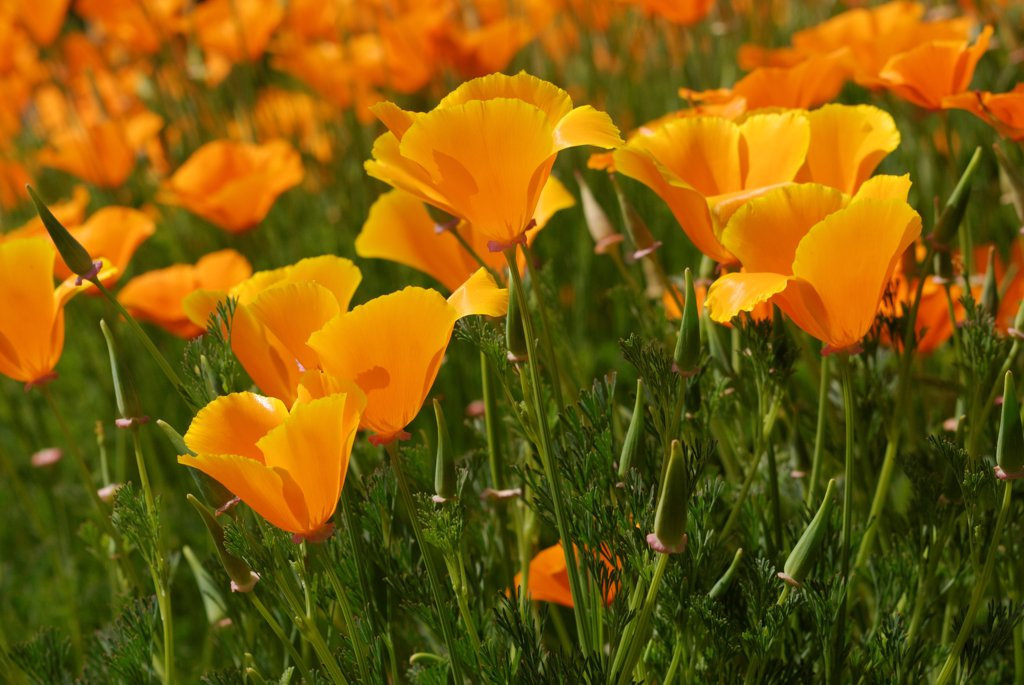 Stock Photo: 4413-157630 California poppies in bloom in a garden