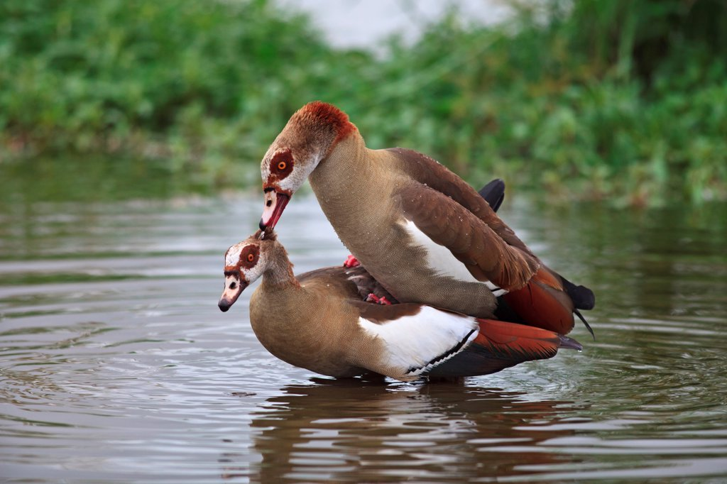 Stock Photo: 4413-158632 Egyptian Geese mating in a pond Kruger NP