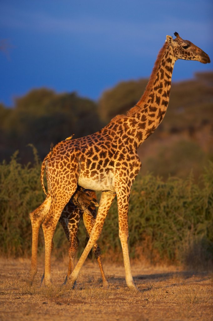 Stock Photo: 4413-16254 Masaï giraffe nursing its young Masaï Mara Kenya
