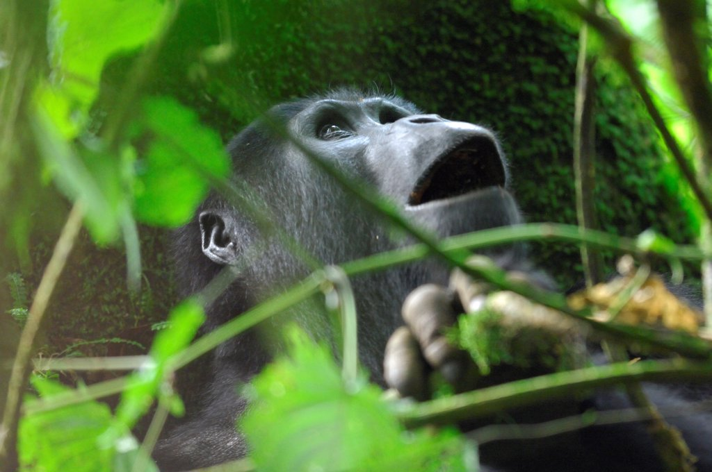 Mountain gorilla in the Bwindi Impenetrable Forest NP : Stock Photo