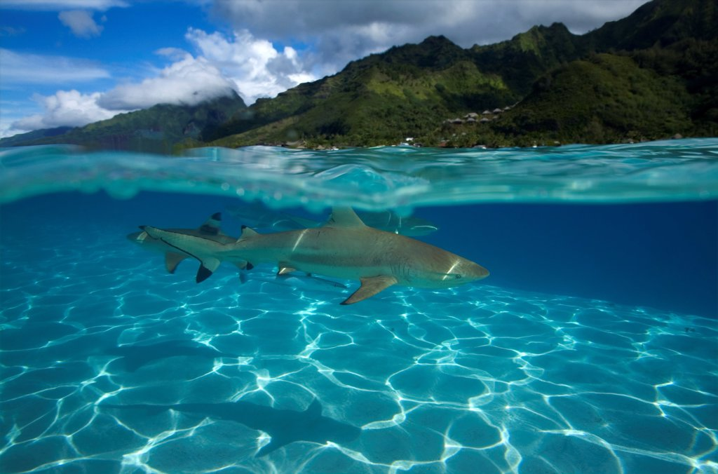 Blacktip reef shark swimming under the surface of water : Stock Photo