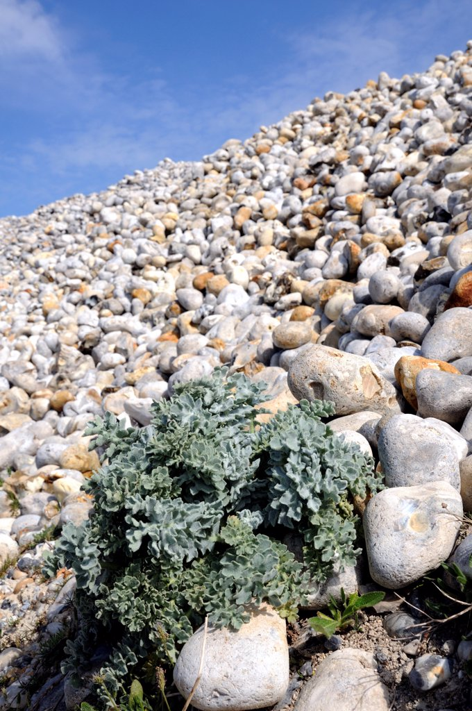 Stock Photo: 4413-166930 Sea kale in a pebble bank in the Somme Bay France