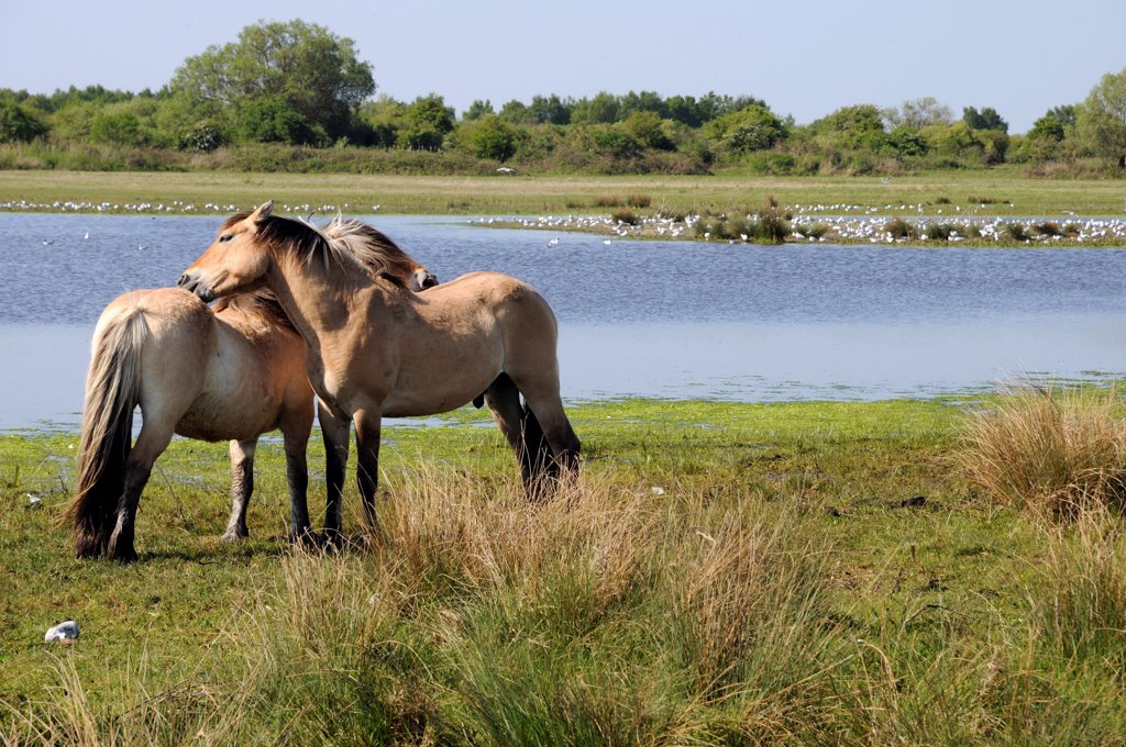 Stock Photo: 4413-166940 Henson horses in a marsh in the Somme Bay France