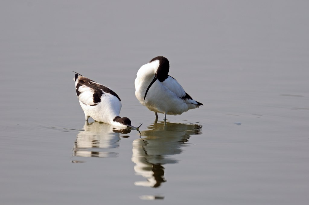 Pied Avocets in courtship behaviour the Somme Bay France : Stock Photo