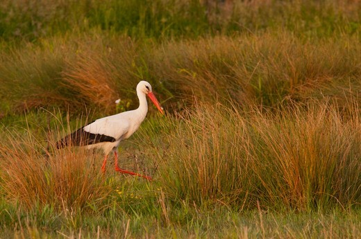 Stock Photo: 4413-167828 White Stork in the Crotoy swamps in the Somme Bay France