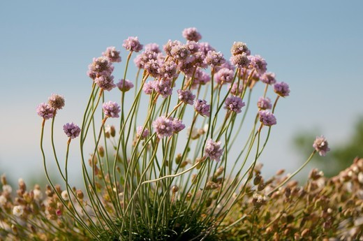 Stock Photo: 4413-167945 Thrift Seapink in bloom on the shore of the Somme Bay France