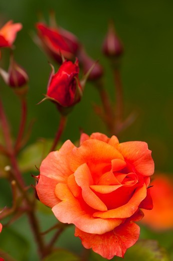 Stock Photo: 4413-167978 Kordes 1969 'Westerland' Floribunda rose in a garden France