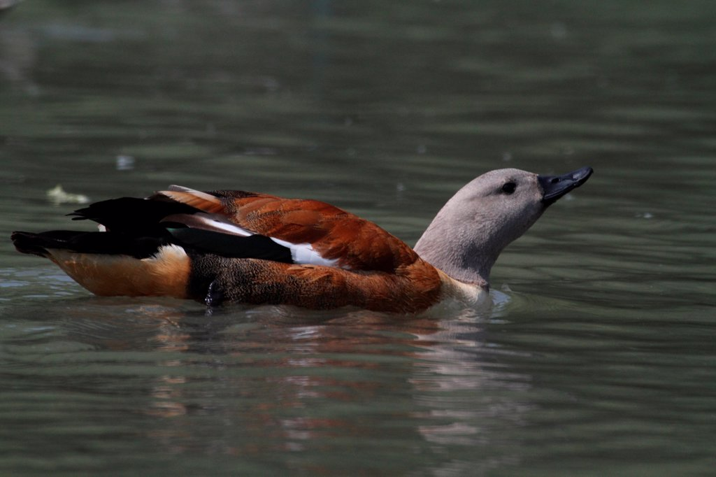Stock Photo: 4413-168955 South african Shelduck swimming on a pond in England