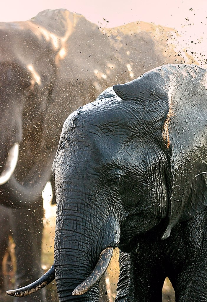Stock Photo: 4413-172572 African elephant taking a mud bath Botswana