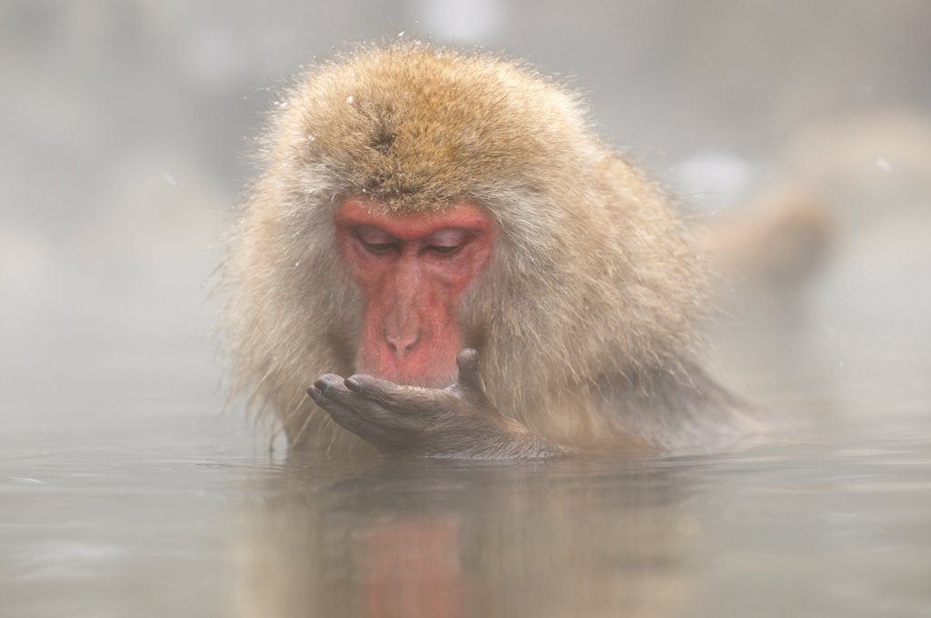 Stock Photo: 4413-173463 Japanese macaque bathing in a hot source Japon