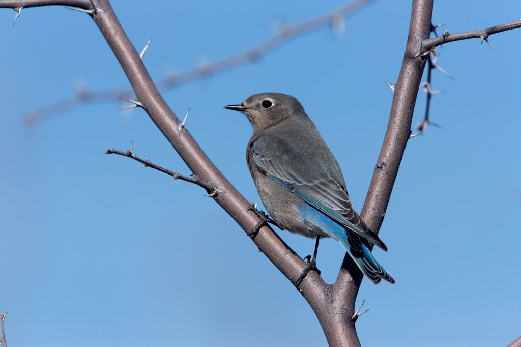 Stock Photo: 4413-174185 Mountain bluebird on a branch New Mexico USA