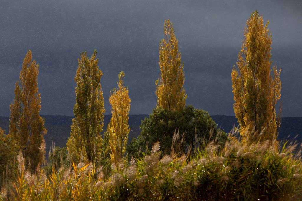 Black cottonwoods in the rain in autumn in Provence France : Stock Photo