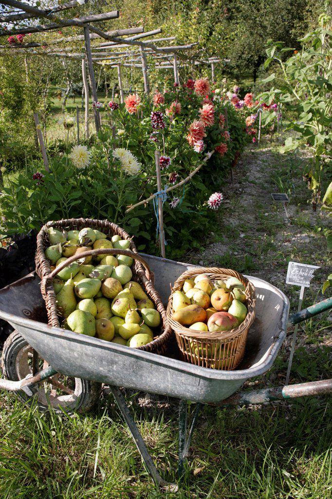 Harvest of pears in a wheelbarrow in a flowered garden : Stock Photo