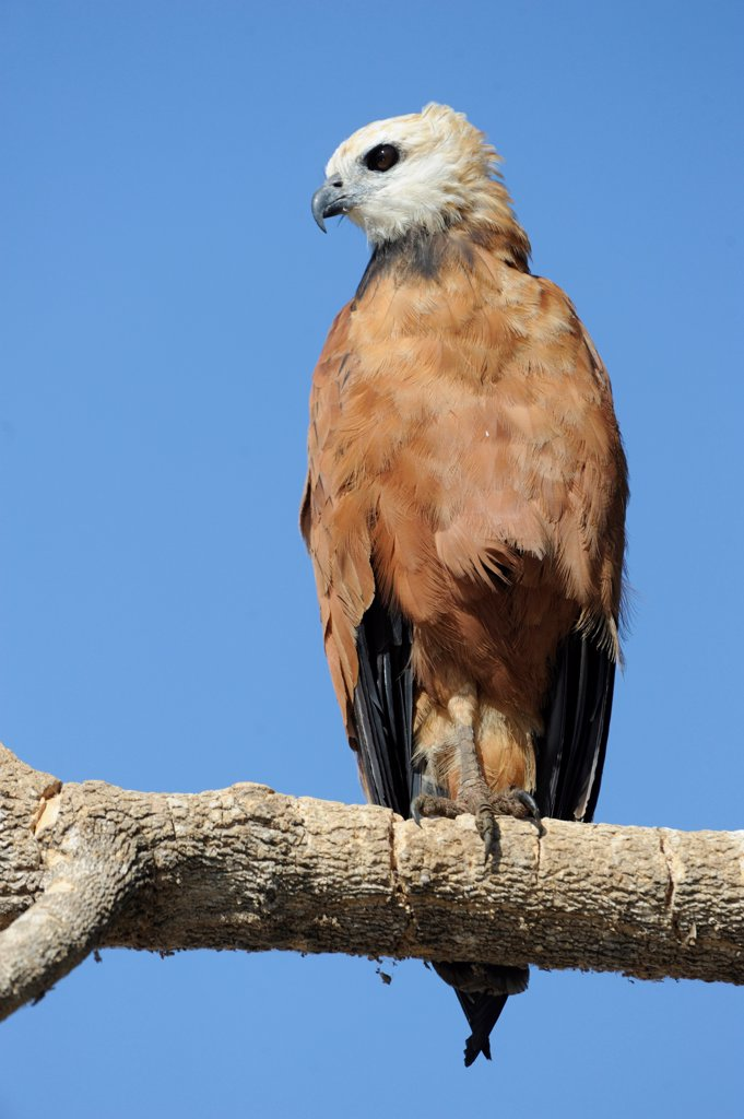 Stock Photo: 4413-175605 Black-collared Hawk on a branch Pantanal Brazil