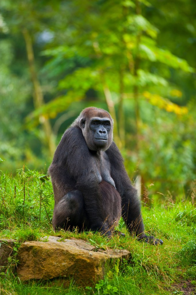 Stock Photo: 4413-176924 Western lowland gorilla