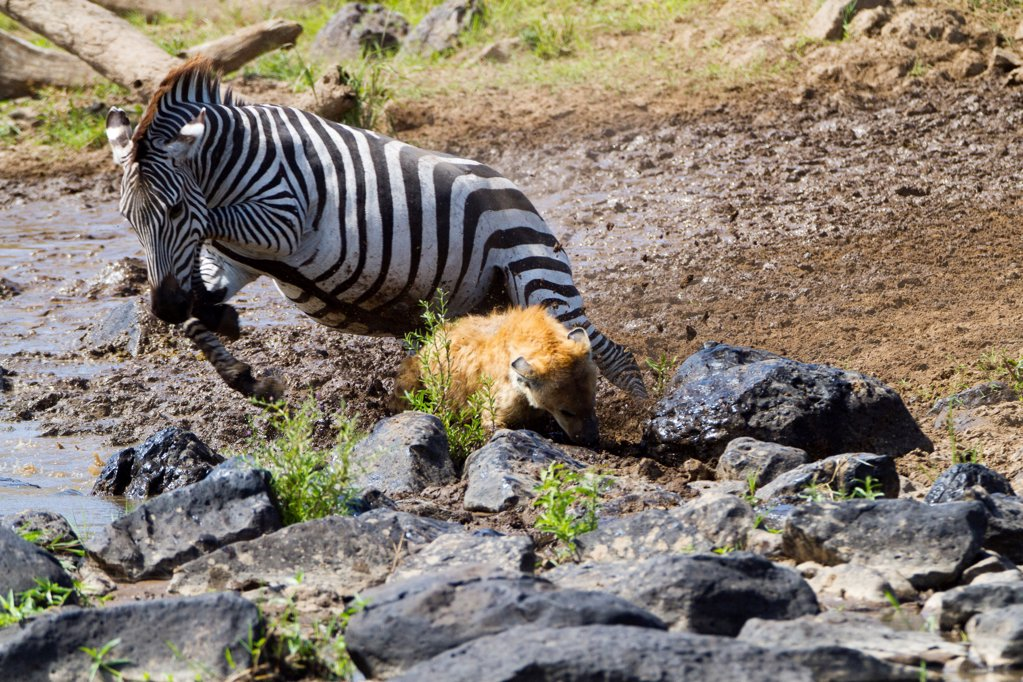 Grant's zebra jumping over a Spotted Hyena Kenya : Stock Photo