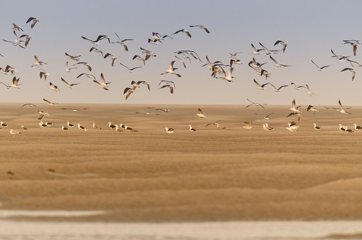 Flight of Gulls brown bay Somme Picardy France : Stock Photo