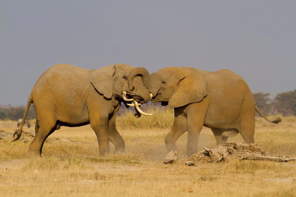 Stock Photo: 4413-183509 Fighting African Elephants males Amboseli Kenya
