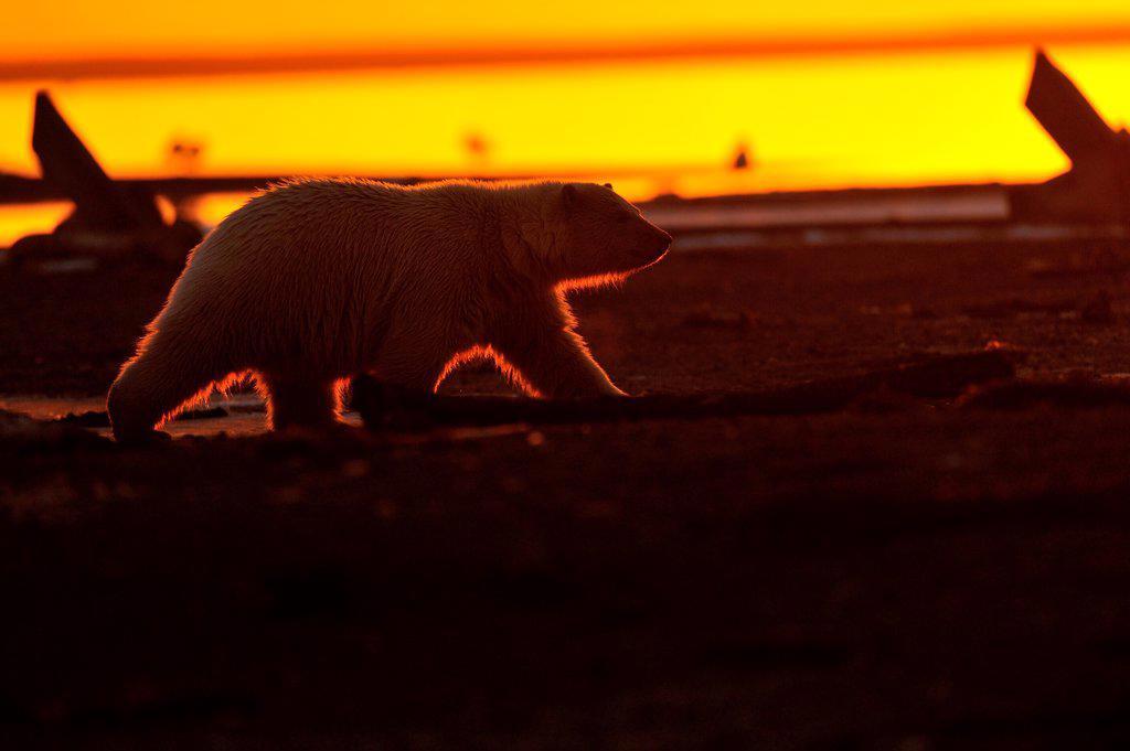 Stock Photo: 4413-184191 Polar bear in the evening at sunset in Alaska