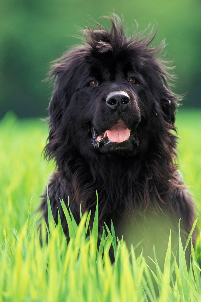 Stock Photo: 4413-18462 Portrait of a Newfoundland sitting in grass