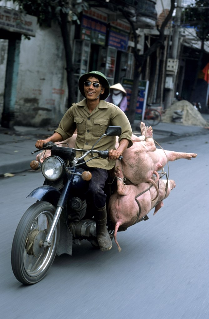 Man transporting alive pigs on his motorbike Vietnam : Stock Photo