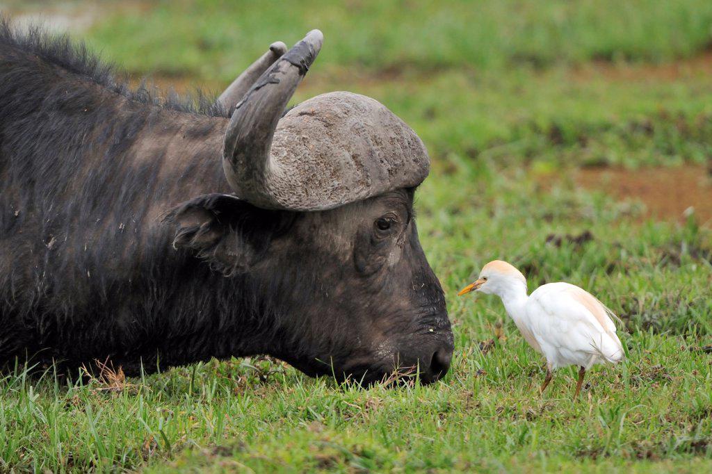 Stock Photo: 4413-185340 Cattle Egret near a Cape Buffalo grazing Kenya