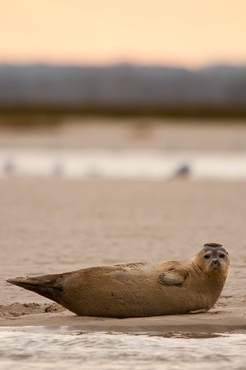Stock Photo: 4413-185374 Young seal failed in the Bay of Somme Le Hourdel France