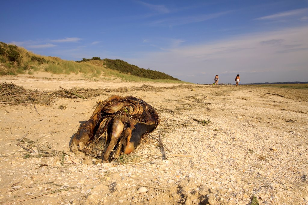 Porpoise corpse on a beach in the Bay of Somme France : Stock Photo