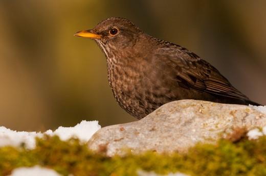 Female Eurasian Blackbird at the feeder in winter Somme Fran : Stock Photo