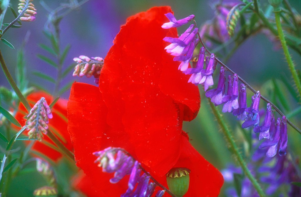 Stock Photo: 4413-19099 Poppy and tare in flower France