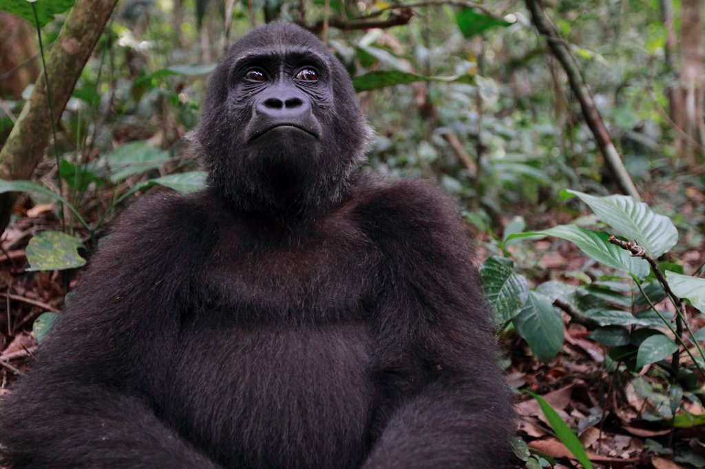Young Western lowland gorilla in forest Gabon : Stock Photo