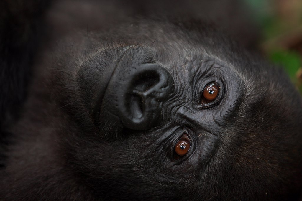 Portrait of a Young Western lowland gorilla in Gabon : Stock Photo