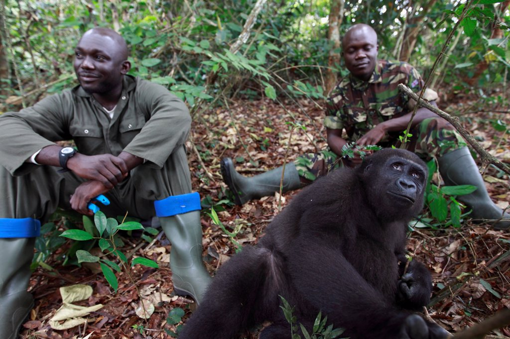Guards with a Western lowland gorilla in forest Gabon : Stock Photo