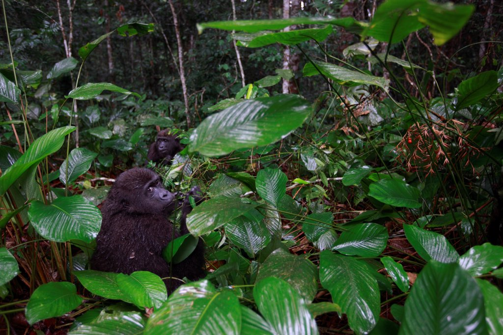 Young Western lowland gorilla in forest in Gabon : Stock Photo