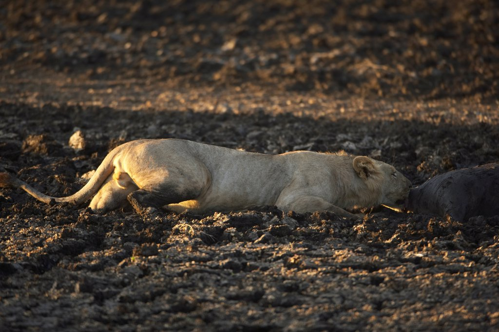 Stock Photo: 4413-19640 Lioness and corpse of herbivore died in mud Masaï Mara