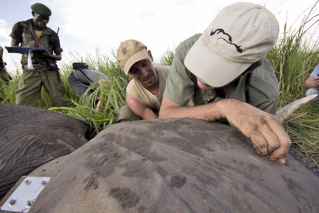 Installation of a radio collar on an elephant in the DRC : Stock Photo