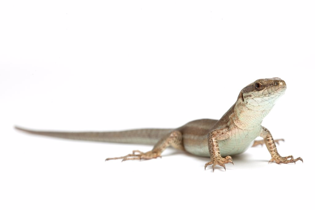 Wall lizard on white background : Stock Photo