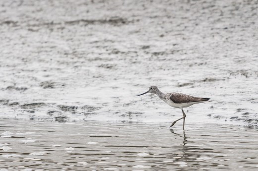 Stock Photo: 4413-201809 Common Greenshank walking in a creek Bay Somme France