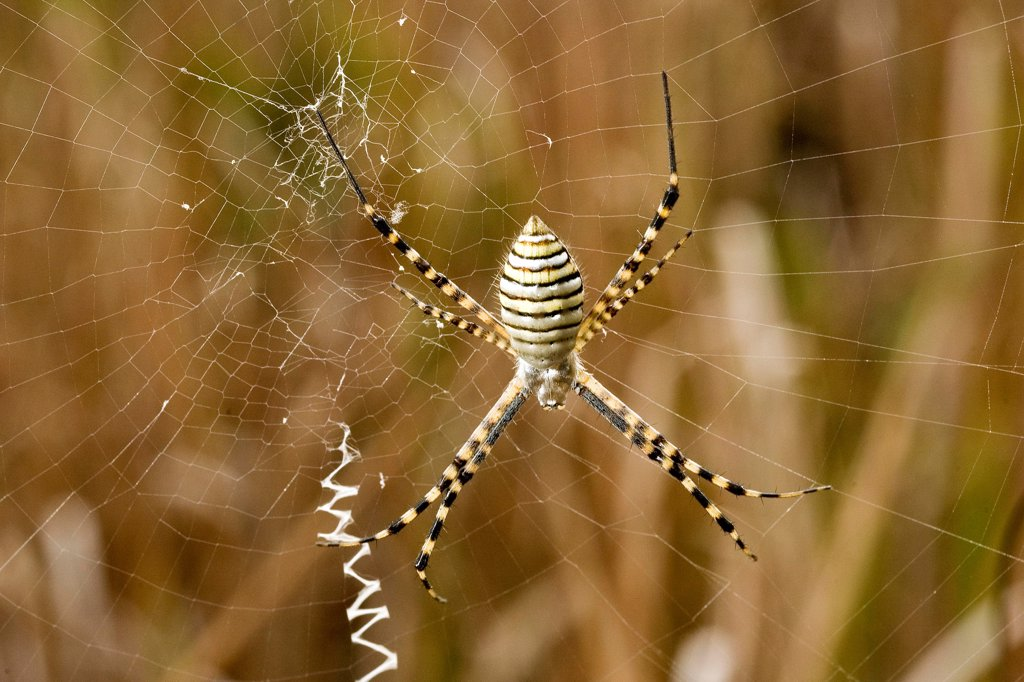 Stock Photo: 4413-202166 Argiope Madagascar on a canvas Madagascar
