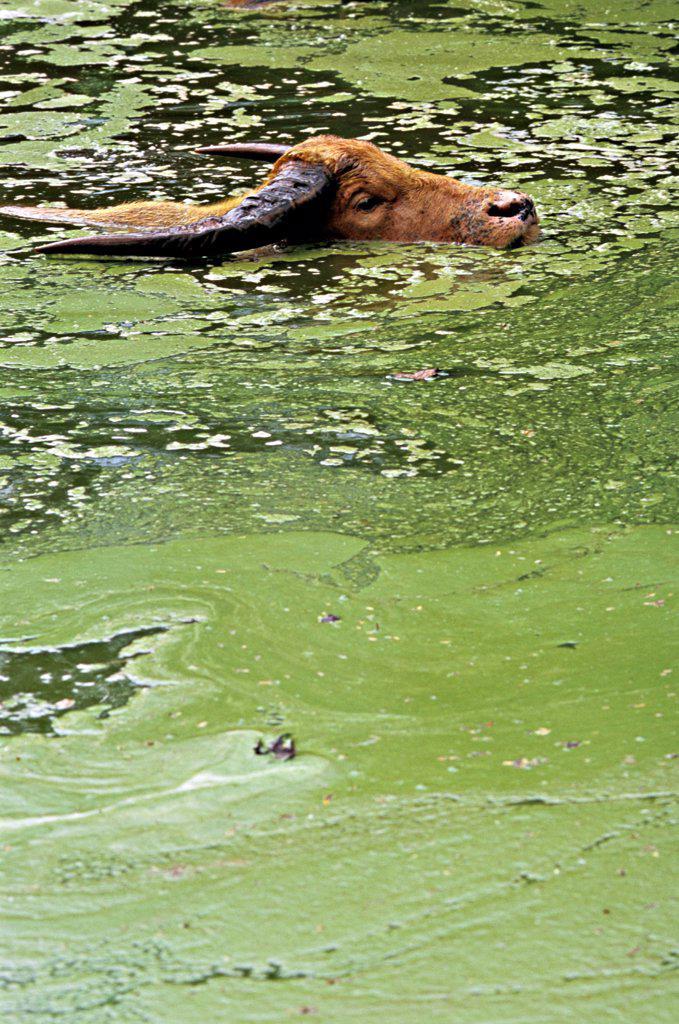 Stock Photo: 4413-203179 Water buffalo taking bath Thailand