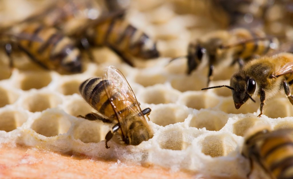 Bees ventilating alvoeles with their wings France : Stock Photo