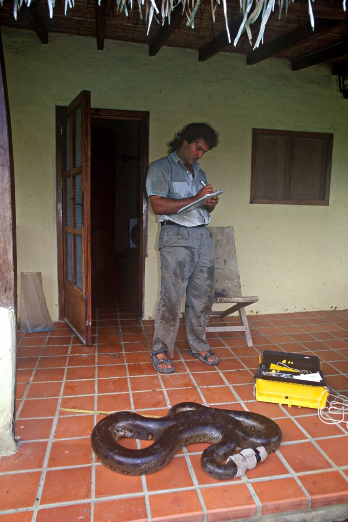 Stock Photo: 4413-206625 Researcher studying a green Anaconda Llanos Venezuelan